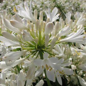 Agapanthus White Pixie