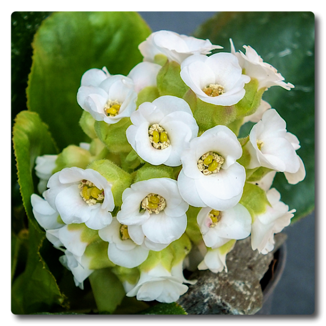 Bergenia Diamond Drops