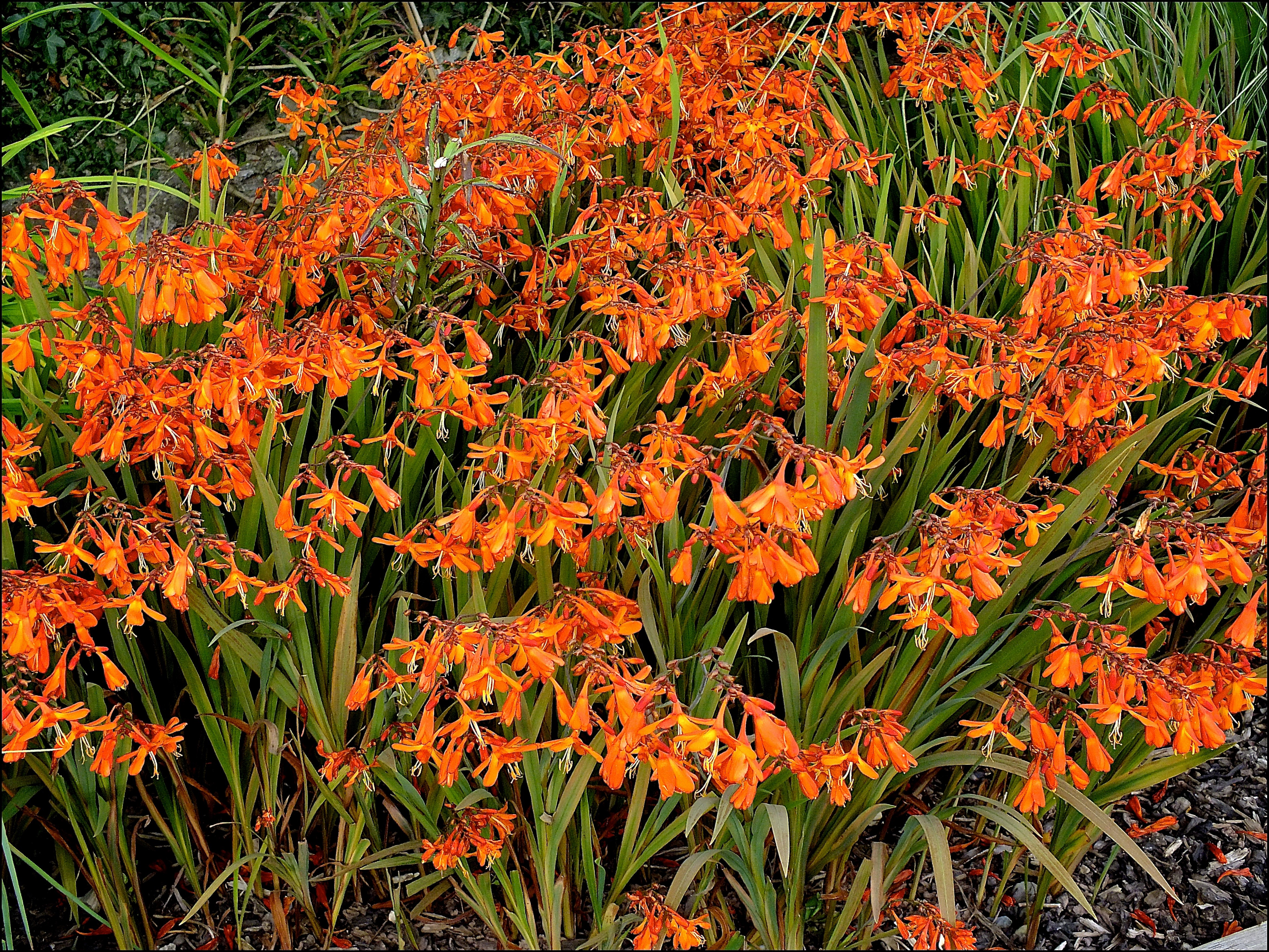 Crocosmia Big Top