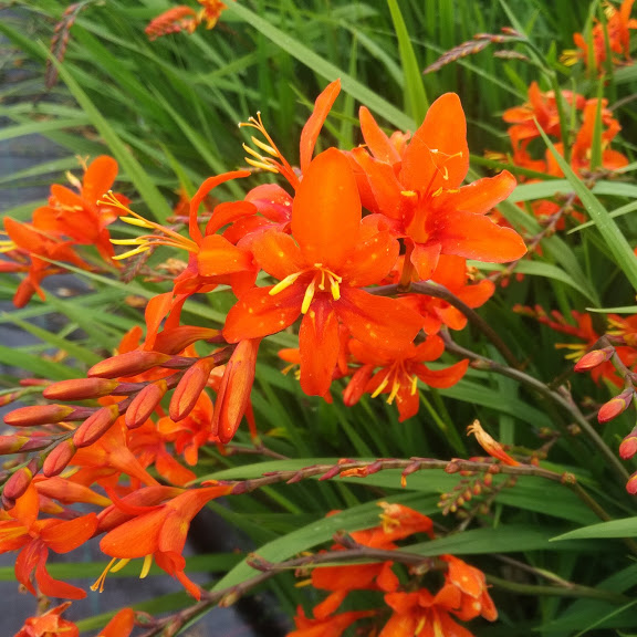 Crocosmia Kilmurry Orange