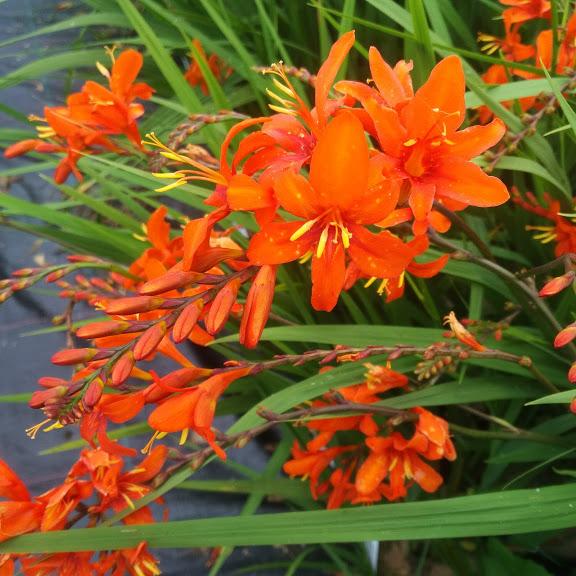 Crocosmia Kilmurry Orange
