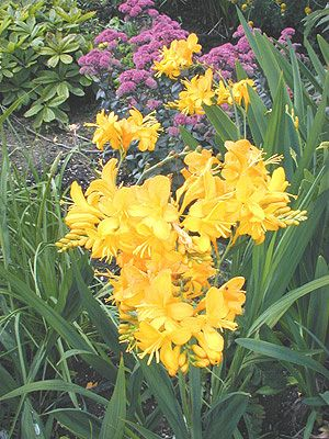 Crocosmia Paul's Best Yellow