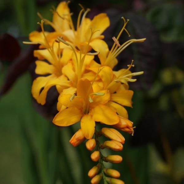 Crocosmia Rowallane Yellow