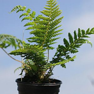 Dicksonia antarctica starter plant