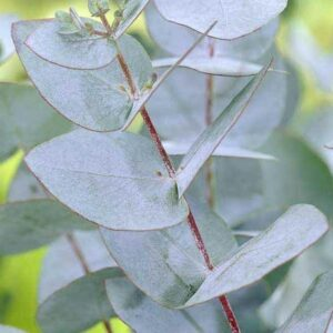 Eucalyptus Gunnii Gum Tree 50 fresh seeds, silver/grey leaves