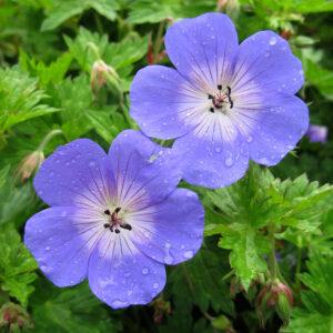 Geranium Rozanne ® 3 plants