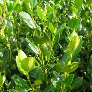 Griselinia 'Green Horizon' PBR  12 plants.  New evergreen hedging plant