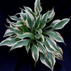 Hosta Bright Star ppaf
