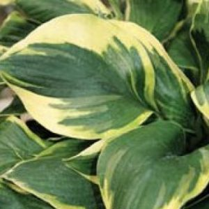 Hosta Deep Space Nine