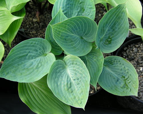 Hosta Dorset Blue