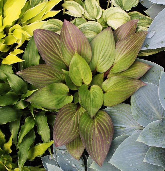 Hosta First Blush ®