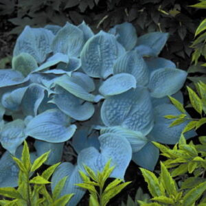 Hosta Fragrant Blue