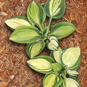Hosta Holy Mouse Ears ®