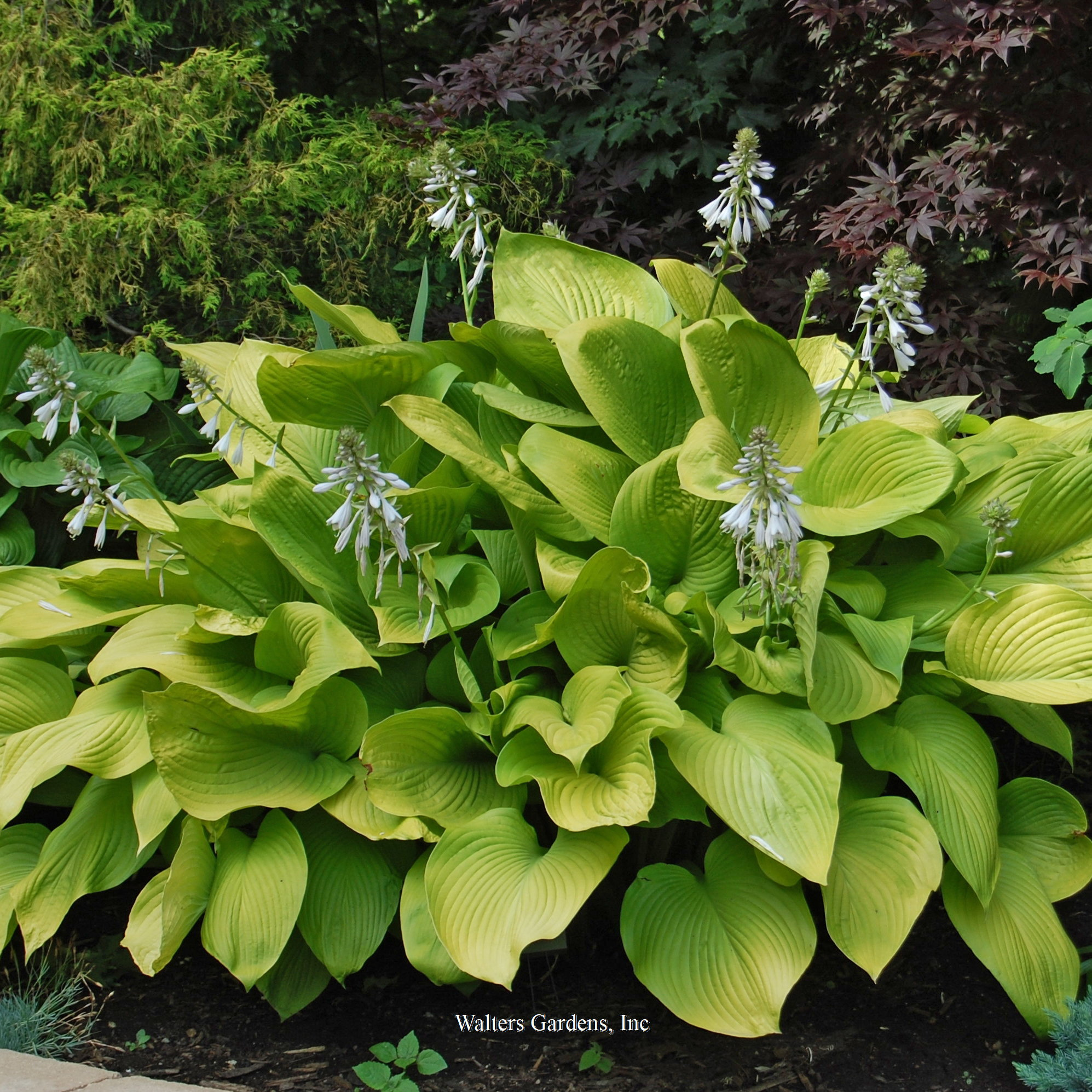 Hosta Key West