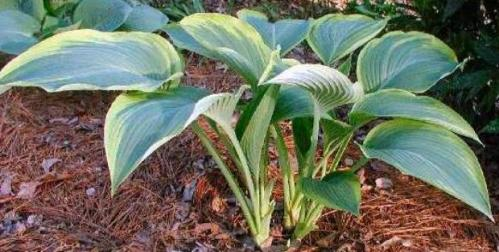 Hosta Lakeside Fancy Pants