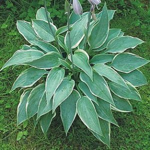 Hosta Mint Candy