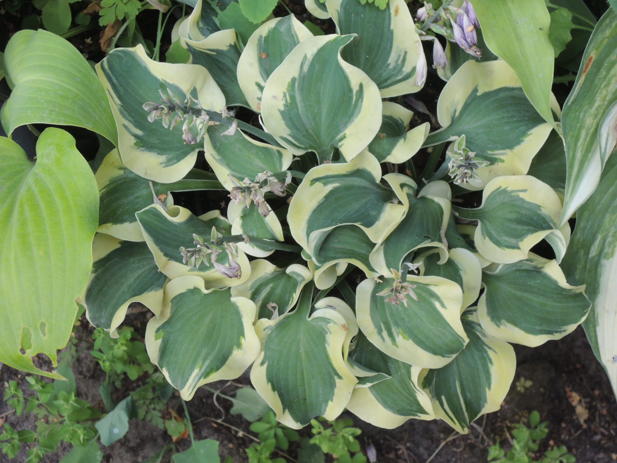 Hosta Mouse Capades