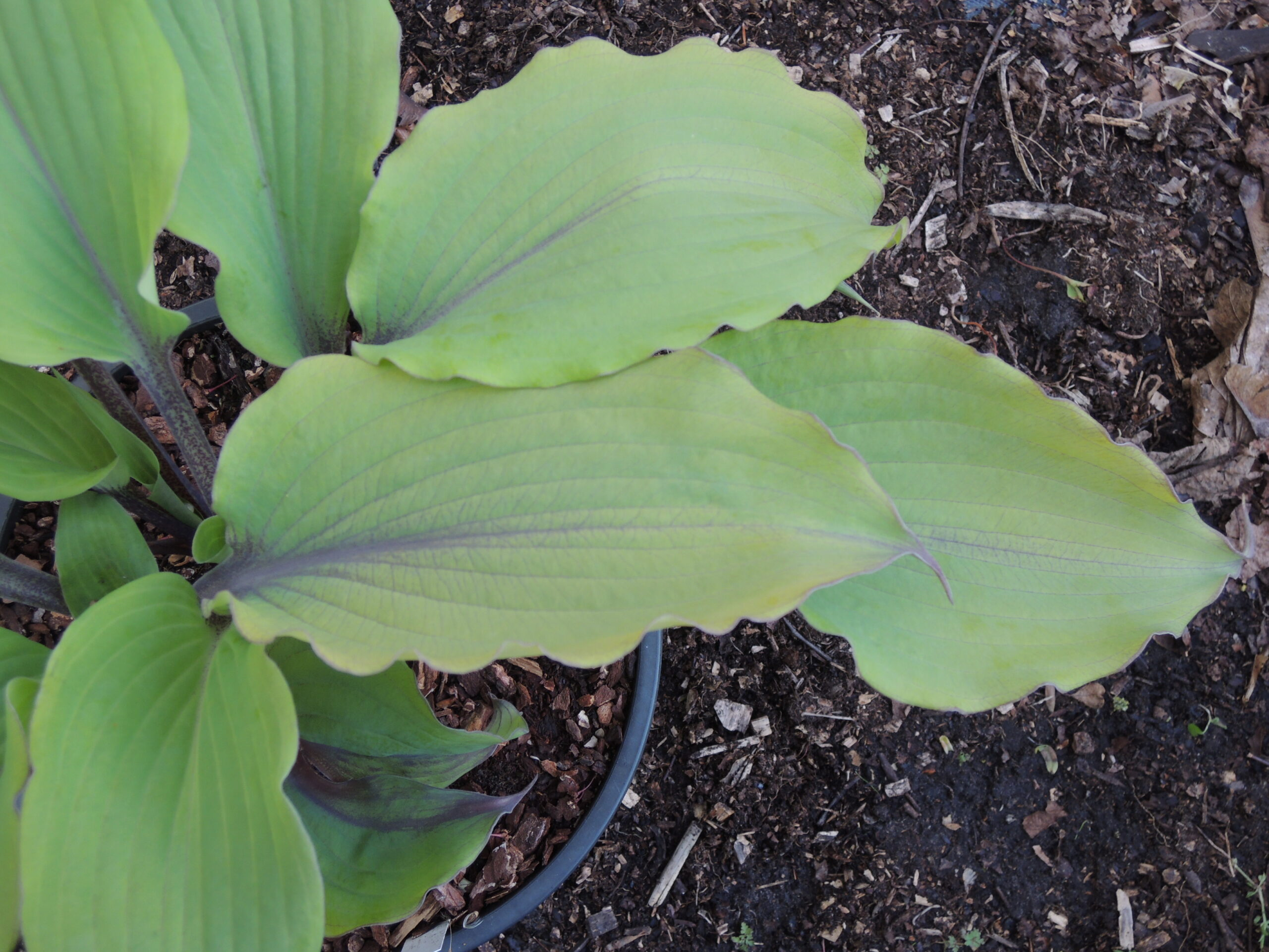 Hosta Number Nine