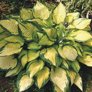 Hosta Orange Marmalade ®