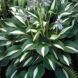 Hosta Risky Business ®