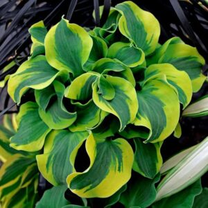 Hosta School Mouse