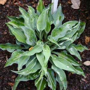 Hosta Slim and Trim