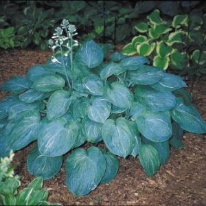 Hosta Spilt Milk