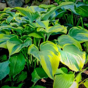 Hosta Stag's Leap
