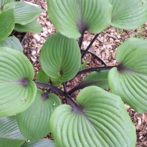 Hosta Sugar Plum