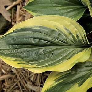 Hosta Swamp Thing