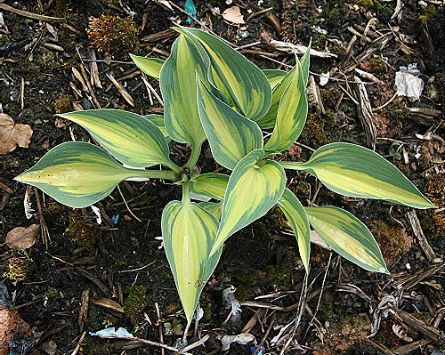 Hosta Touch of Class ®
