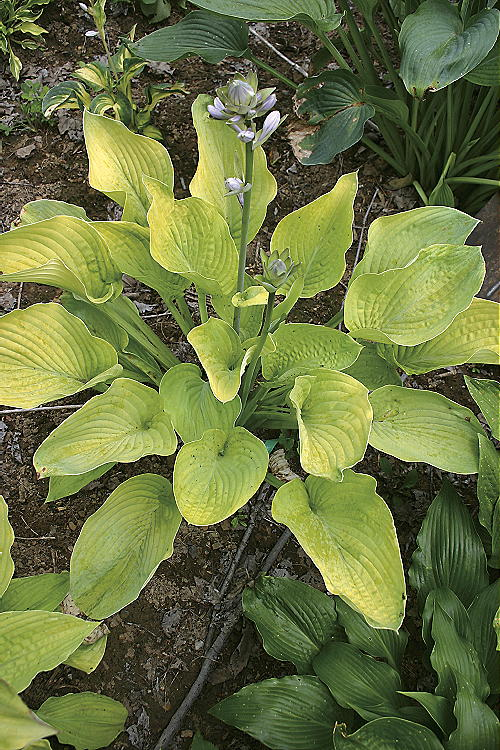 Hosta World Cup