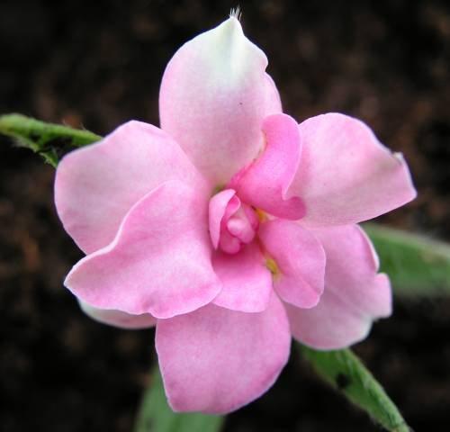 Rhodohypoxis Lily Jean