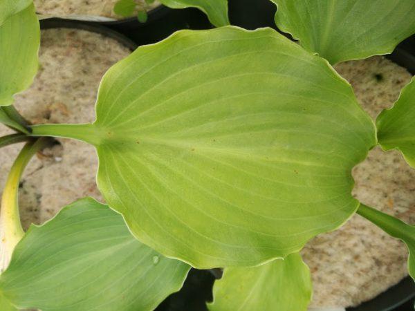 Hosta The Fonz leaf