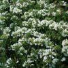 Agapanthus 'Ever White'