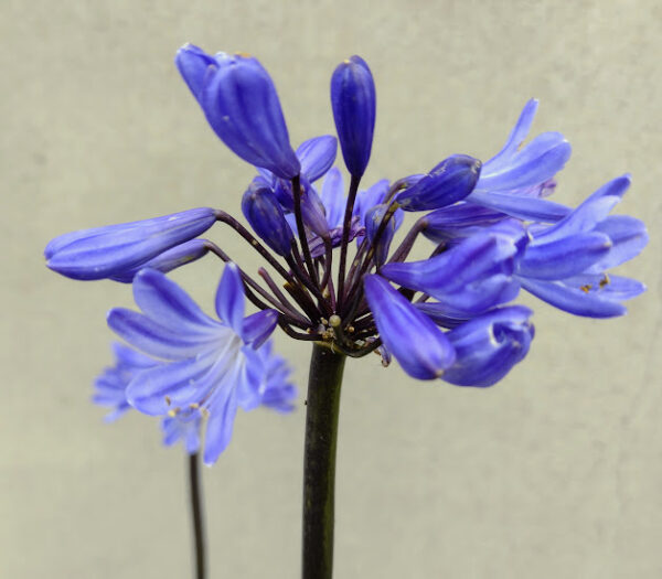 Agapanthus 'First Love'
