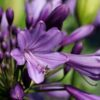 Agapanthus 'Poppin Purple'